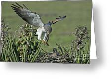 White-tailed Hawk At Nest Greeting Card