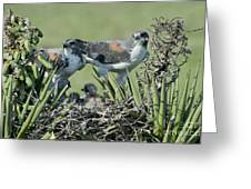 White-tailed Hawk Family Greeting Card
