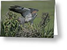 White-tailed Hawks At Nest Greeting Card