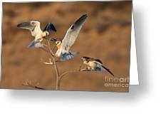 White-tailed Kite Trio Greeting Card