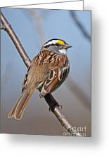 White-throated Sparrow Pictures 108 Greeting Card