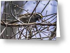White-throated Sparrow With Berry Greeting Card