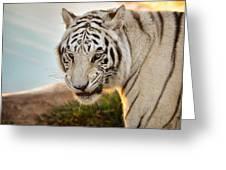 White Tiger At Sunrise Greeting Card