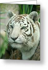 White Tiger Greeting Card by Karen Lindquist