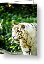 White Tiger Portriat Greeting Card