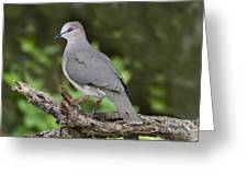 White-tipped Dove Greeting Card