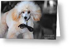 White Toy Poodle Greeting Card