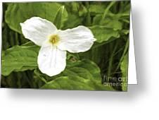White Trillium Flower Greeting Card
