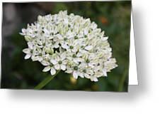 White Umbel Greeting Card
