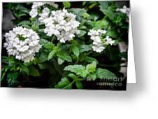 White Verbena Art Greeting Card