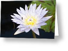 White Waterlily With Fly...   # Greeting Card