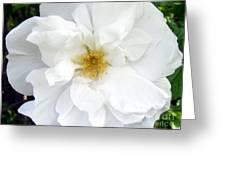 White Wild Rose Greeting Card