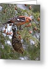 White-winged Crossbills Greeting Card