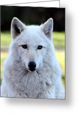 White Wolf Close Up Greeting Card