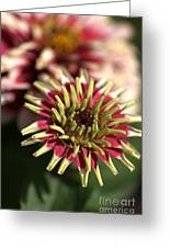 White Zinnia Greeting Card