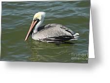 Whiteheaded Pelican Greeting Card