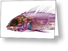 Whitespotted Greenling Greeting Card by Adam Summers