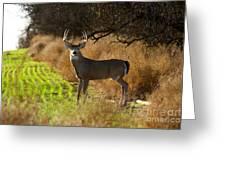 Whitetail Buck Greeting Card