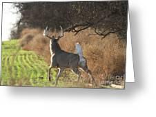 Whitetail Buck Rut Greeting Card