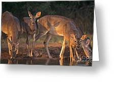 Whitetail Deer At Waterhole Texas Greeting Card