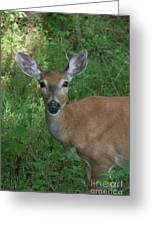 Whitetail Portrait In Valley Forge National Park Greeting Card