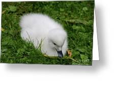Whooper Swan Juvenile  Greeting Card
