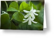 Whtie Clover Flower Greeting Card