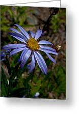 Wild Aster Flower Greeting Card