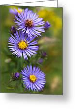 Wild Aster Trio Greeting Card