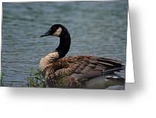 Wild Beauty - Canadian Goose Greeting Card