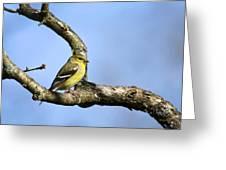 Wild Birds - American Goldfinch Greeting Card