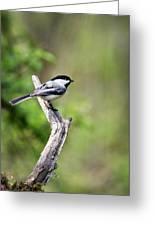Wild Birds - Black Capped Chickadee Greeting Card