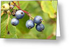 Wild Blueberries Greeting Card