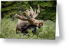 Wild Bull Moose Greeting Card