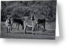 Wild Burros In Black And White  Greeting Card