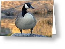 Wild Canadian Goose Greeting Card