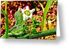 Wild Cucumber In Park Sierra Near Coarsegold-california  Greeting Card