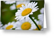 Wild Daisies After The Rain Greeting Card