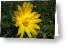 Wild Daisy Greeting Card by David Armstrong