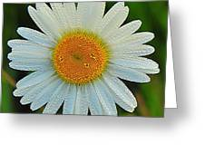 Wild Daisy With Dew Greeting Card
