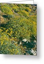 Wild Flowers, Anza Borrego Desert State Greeting Card