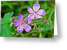Wild Geranium On Trail To Swan Lake In Grand Teton National Park-wyoming Greeting Card