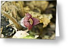 Wild Ginger Wildflower - Asarum Canadense Greeting Card