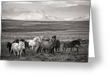 Wild Icelandic Horses Greeting Card