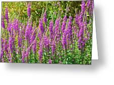 Wild Lavender Flowers Greeting Card