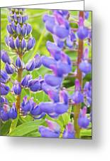 Wild Lupine Flowers Greeting Card