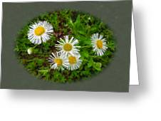 Wild Miniature Daisies Greeting Card