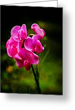 Wild Pea Flower Greeting Card by Robert Bales