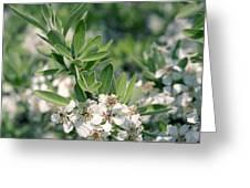 Wild Pear Pyrus Amygdaliformis Greeting Card