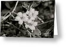 Wild Petunias In Black And White Greeting Card